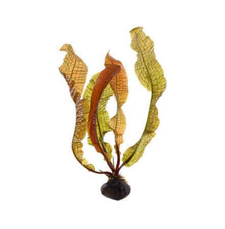 Aponogeton boivinianus lök